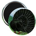 Fantail Black Pigeon Magnets