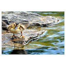 Inquisitive Duck