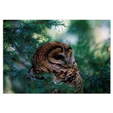 Mexican Spotted Owl In Tree