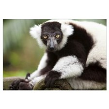 A Black-And-White Ruffed Lemur At The Singapore Zo