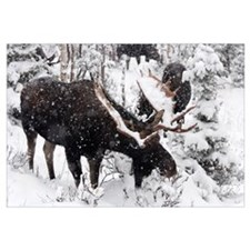 Male Moose Grazing In Snowy Forest, Gaspesie Natio