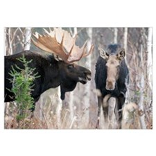 Male Moose Standing With Female During Rutting Sea
