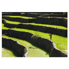 A Farmer Walks Along The Rice Terraces; Batad, Nor