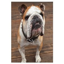 Purebred English Bulldog; Pacifica, California, US