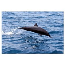 Guatemala, Puerto Quetzal, Spinner Dolphin Jumping