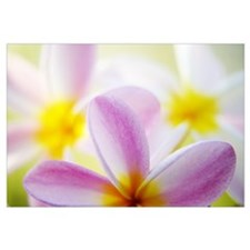 Pink Plumeria Flowers With Yellow Centers