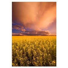 Sunset On A Canola Field