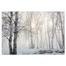 Ontario, Canada, Birch Trees In The Fog