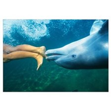 Hawaii, Bottlenose Dolphin Swimming Upside-Down Wi