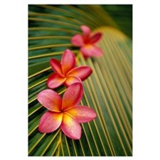 Close-Up Three Pink Plumeria Flowers On Coconut Pa