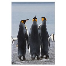 Group Of King Penguins Standing Together South Geo