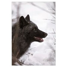 Portrait Of A Black Wolf, Eureka Pass, Southcentra