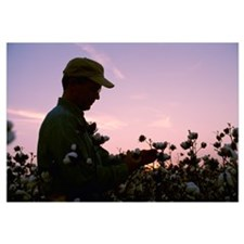 A farmer inspects his mature cotton crop prior to