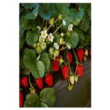 Closeup of strawberry plants with blossoms and rip