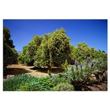 Valencia orange trees in a grove with a crop of ma