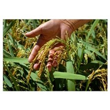 A farmer's hand holds a head of mature rice in the