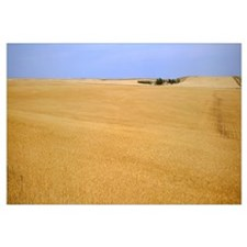 Ripe wheat field ready for harvest, Central Montan