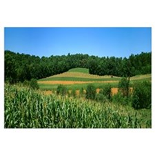 Strip cropping of grain corn (foreground), oats (i