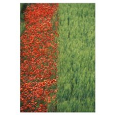 Line Of Red Poppies In Wheat Field In Provence, Fr