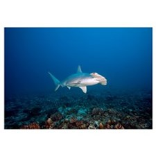 Hawaii, Molokai, Scalloped Hammerhead shark swimmi