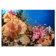 Alconarian and gorgonian coral with bigeye jacks d