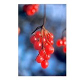 Postcards (Package of 8):  Highbush Cranberries