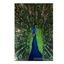 Colorful Peacock 2 Postcards (Package of 8)