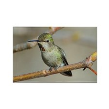 Resting Hummingbird Rectangle Magnet