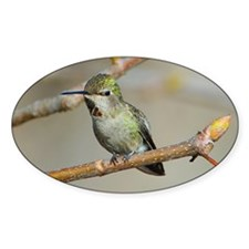 Resting Hummingbird Oval Decal