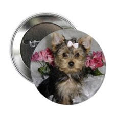 Yorkie puppy Button!