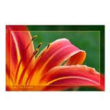 Day Lily Postcards (Package of 8)