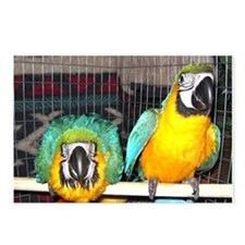 Cool Blue and gold macaw Postcards (Package of 8)