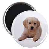 Golden Retriever Puppy Lying Down 2.25&quot; Magnet (10