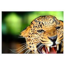 Growling Leopard