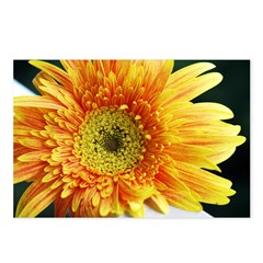 Yellow Gerber Daisy close up Postcards (Package of