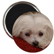"Cute Maltese 2.25"" Magnet (10 pack)"