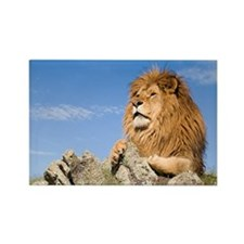 African Lion Rectangle Magnet (10 pack)