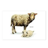 Sheep and Lamb Postcards (Package of 8)