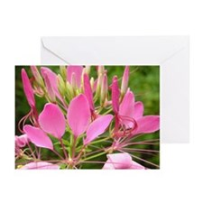 Spider Flower Greeting Cards (Pk of 20)