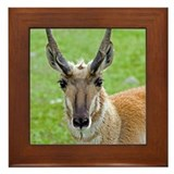 Pronghorn Face Framed Tile