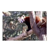 Lesser Panda Postcards (Package of 8)