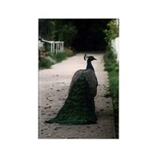 Peacock Path Magnet