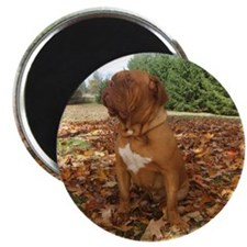Cute Dogue de bordeaux Magnet