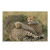 CHEETAH FAMILY IN THE MARA Postcards (Package of 8