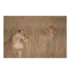 LIONS STALKING IN THE MARA Postcards (Package of 8
