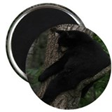 "black bear in tree 2.25"" Magnet (100 pack)"