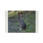 Black Tailed Jackrabbit Rectangle Magnet (10 pack)