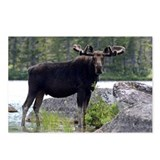 Bull in velvet Postcards (Package of 8)
