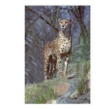 Cheetah Postcards (Package of 8)