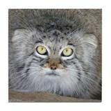 Pallas' Cat Tile Coaster
